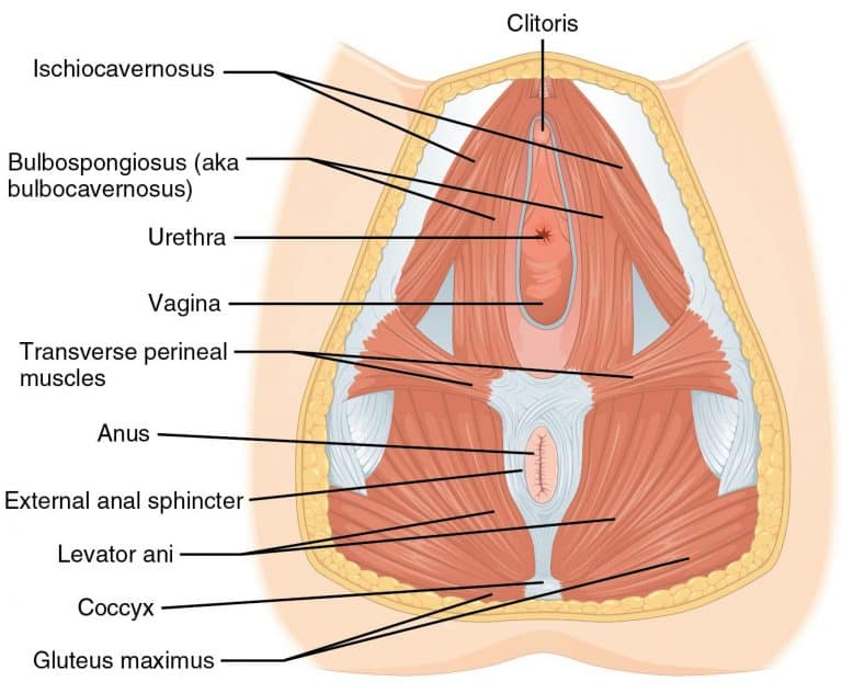 female pelvic muscles